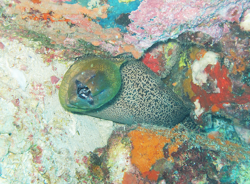 IMG_7682Ar_Giant Moray eel.JPG