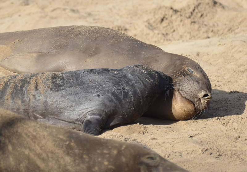 ano-nuevo-elephant-seals-2013 46.jpg