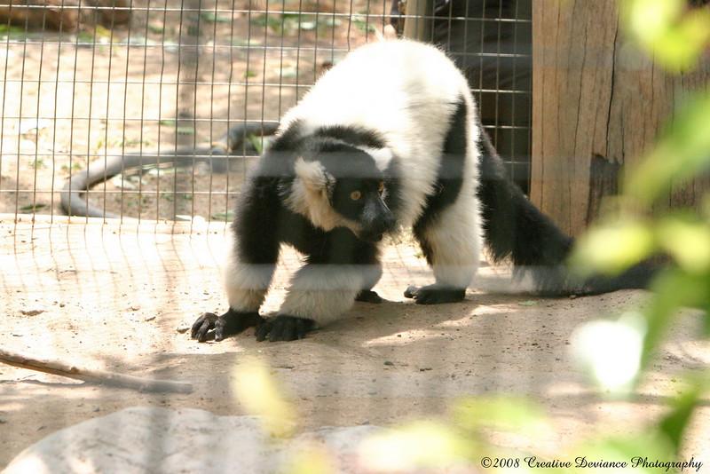 BlackandWhite Ruffed Lemur.JPG