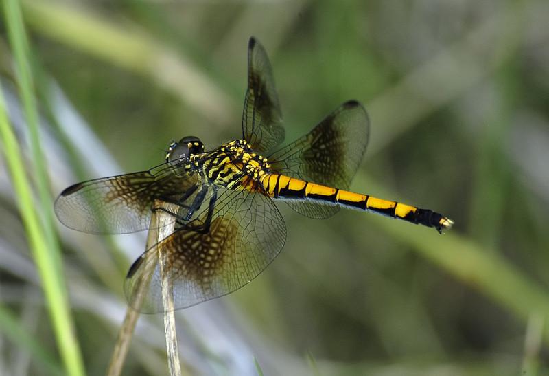 Erythrodiplax berenice (Seaside Dragonlet), FL