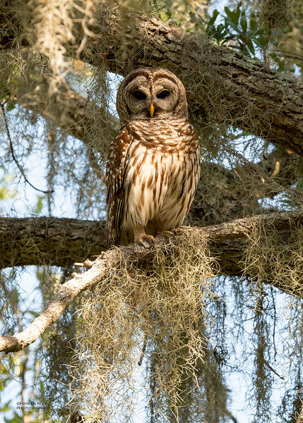 Barred Owl, Circle B Bar, Lakeland, FL, USA, May 2018-1.jpg