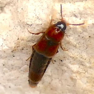 P171BryoporusRufescensRoveBeetle552 Feb. 15, 2018 9:21 a.m. P1710552 This Rove Beetle, Bryoporus rufescens, was hanging out at one of the shaded bench shelters east of the main garden at LBJ WC. Staphylinid.