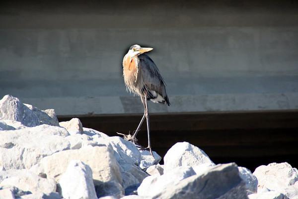Sea Birds, Gulf Shores, AL
