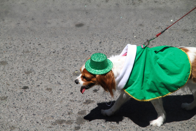 irish dog.jpg