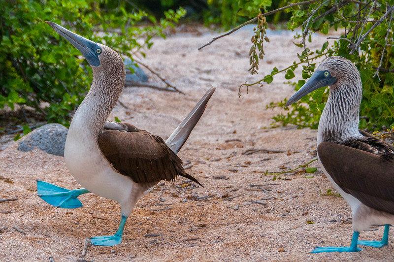 Blue-footed Boobies mating dance, Galapagos