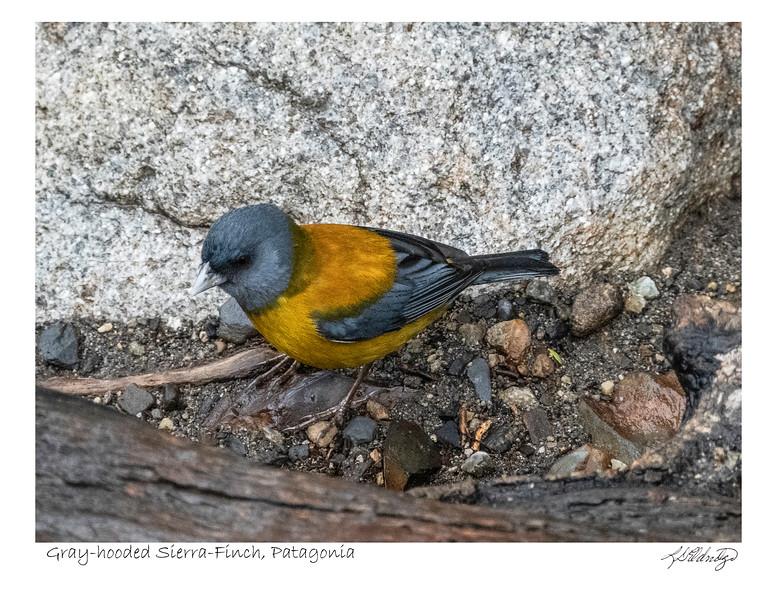 200201 04837 Gray-hooded Sierra Finch in Patagonia.jpg