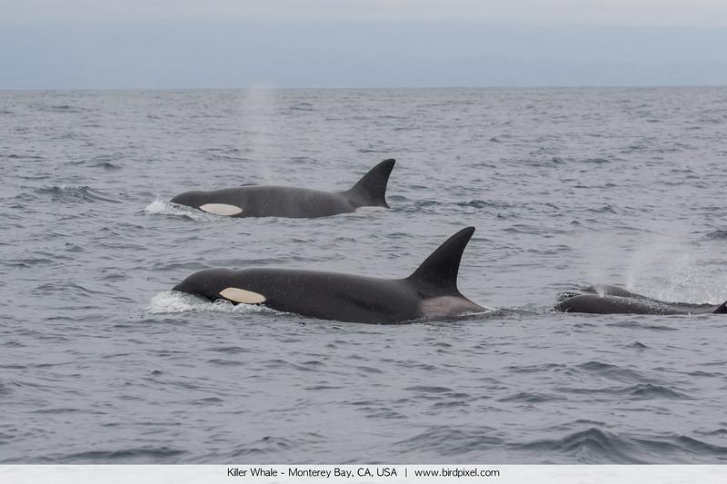 Killer Whale - Monterey Bay, CA, USA