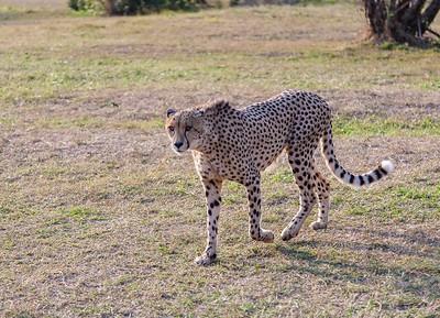 Cheetah, South Africa, 2013