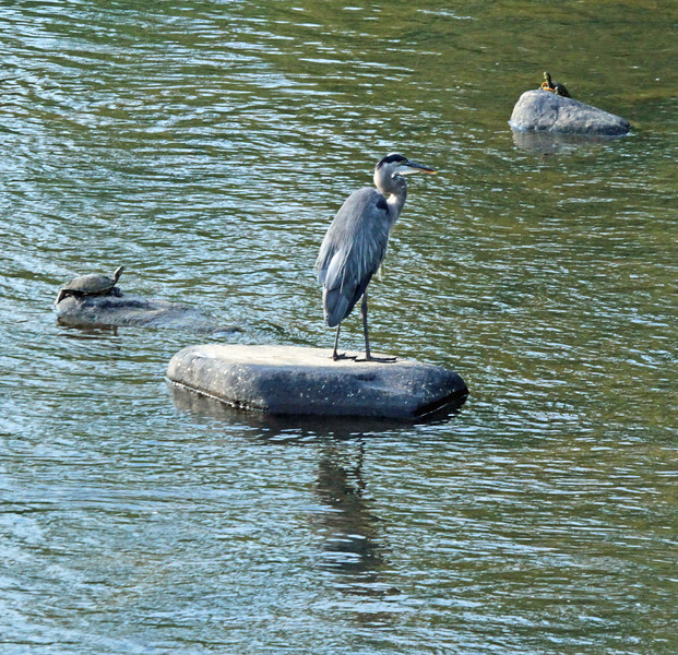 Great blue heron and turtles