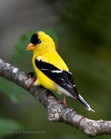 Maine's Beautiful Birds