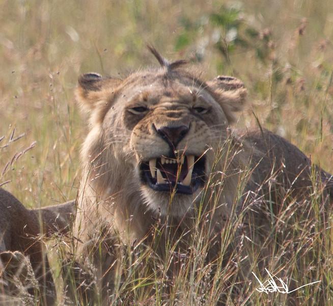 Lions Masai Mara - S-24.jpg