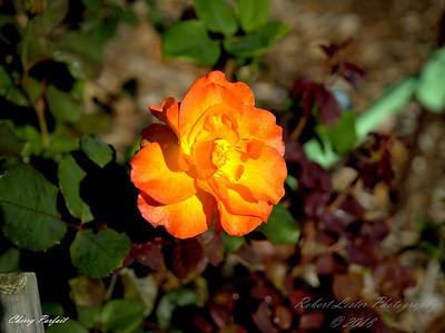Roses...Sturgeon Rose Garden,Largo Fl.