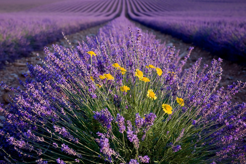 yellow flower landscape lavender better.jpg