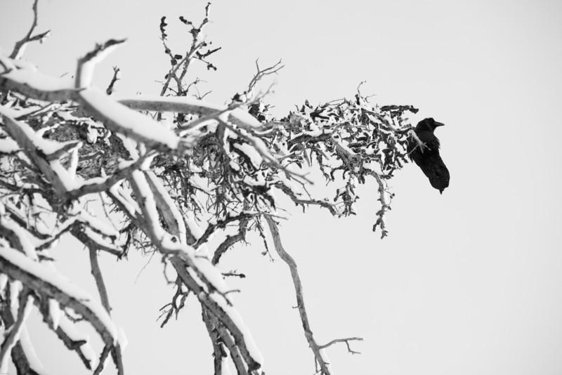raven:tree.jpg