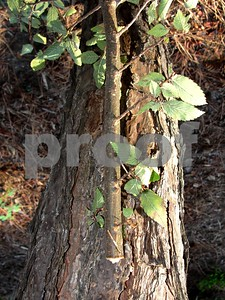 twig-girdler-damage-is-a-sign-of-the-beginning-of-fall
