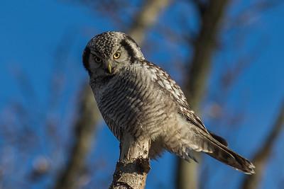 Owls-Ugler
