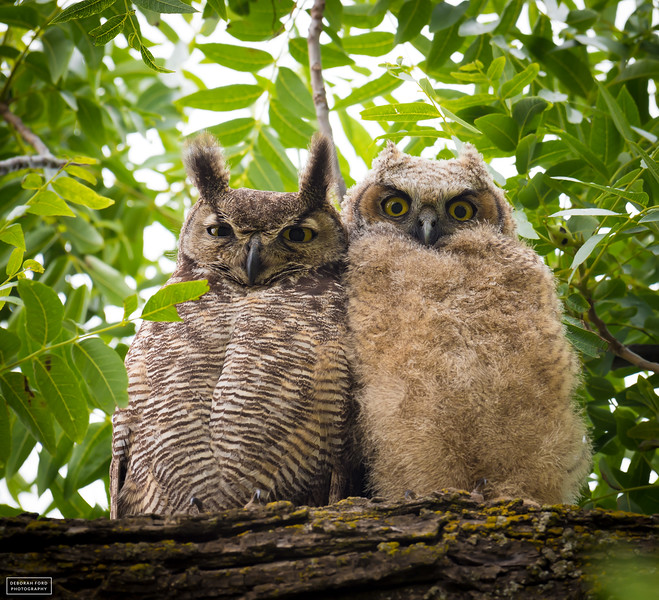 Mama and Junior Great-horned Owl