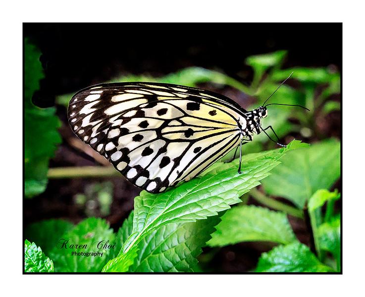 sm White Butterfly.jpg
