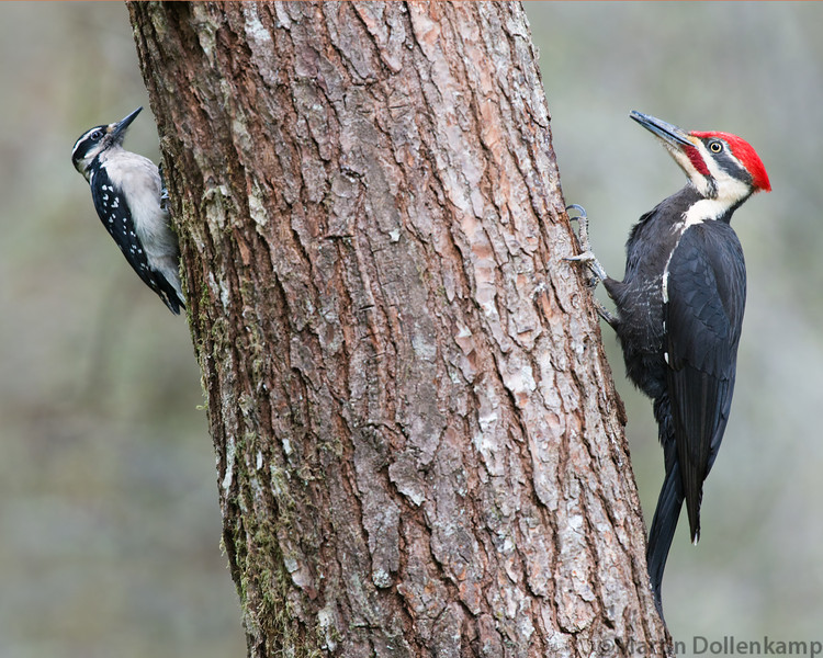 Pileated Woodpecker and a Hairy Woodpecker on the same log.