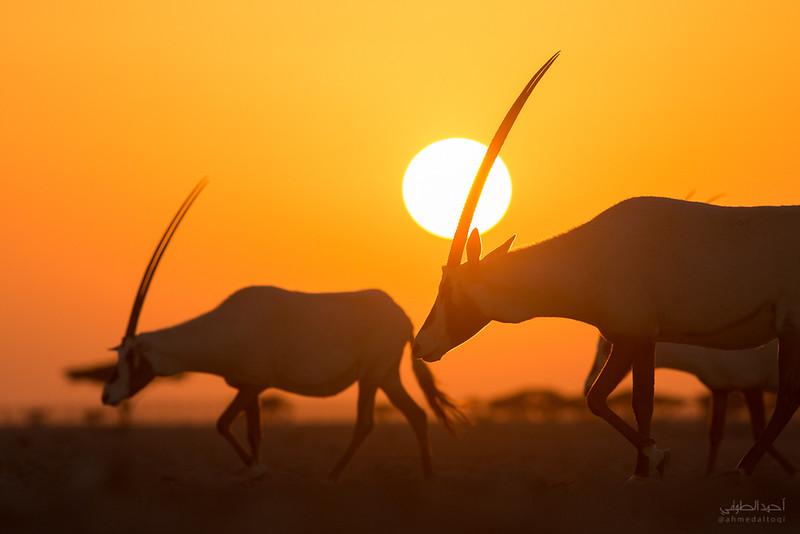 Arabian Oryx (24).jpg