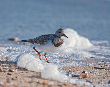 Shore Birds, small