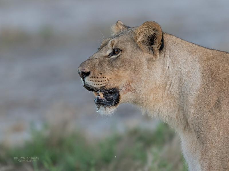 African Lion, Savuti, Chobe NP, Botswana, May 2017-41.jpg