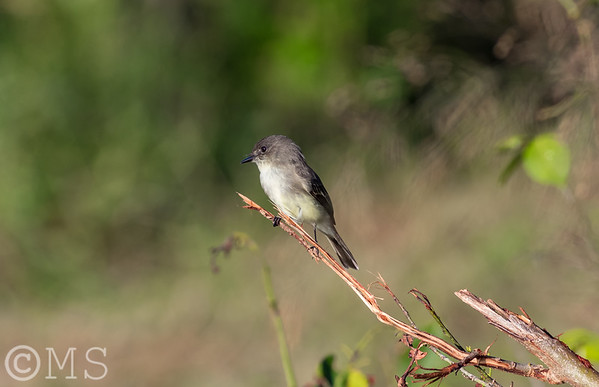 Flycatcher Image Gallery