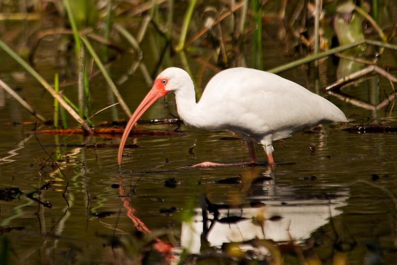 Ibis - White - Wakulla Springs State Park, FL - 03