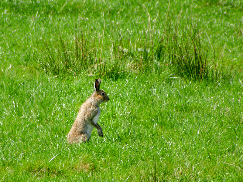 Hare near Ballinagower