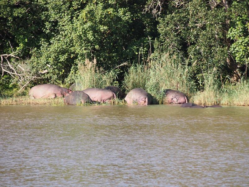 P5035995-hippos-on-bank.JPG