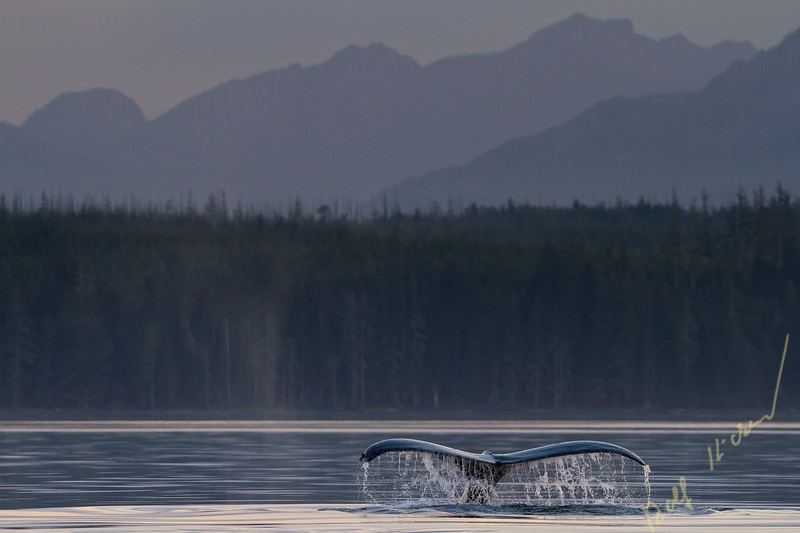 Humpback whale lifting its fluke to start a deep dive in the Broughton Archipelago, with Vancouver Island Mountains in the background, First Nations Territory, British Columbia, Canada.