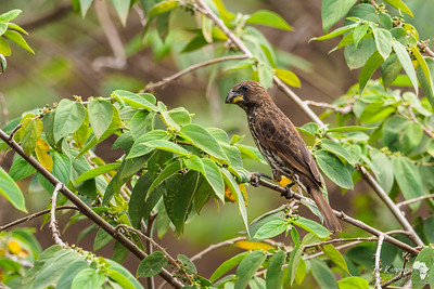 Thick-billed Weaver (female)
