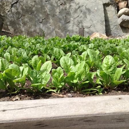 RiverCafe_Garden2014_Spinach.jpeg