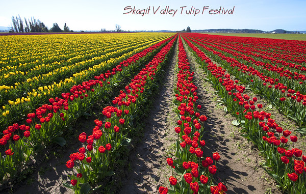 Skagit Valley Tulip Festival, Washington State