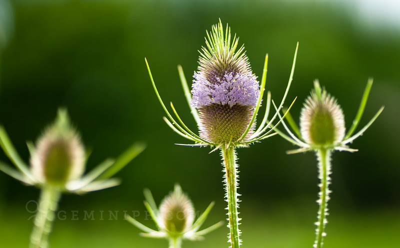 DSC02755 - prpl flower - trifolium rubens.jpg