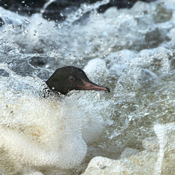 Male Goosander fishing