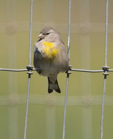 Lawrence's Goldfinch 3-28-18 Poway