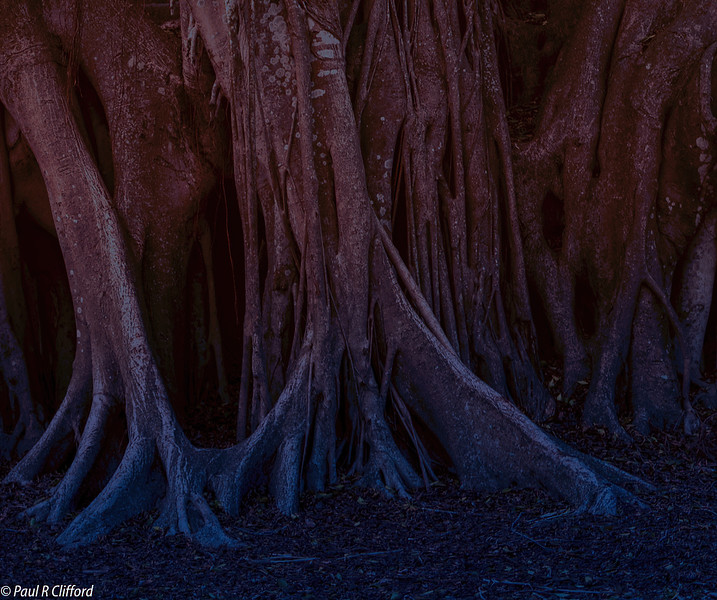 8163 E P, Night Creeping into the Forest, Marie Selby Gardens.jpg