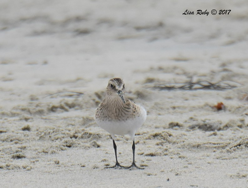 Baird's Sandpiper - 8/27/2017 - Imperial Beach near YMCA Surf Camp