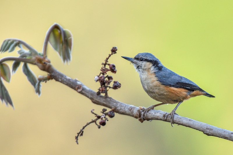 White-tailed-nuthatch.jpg