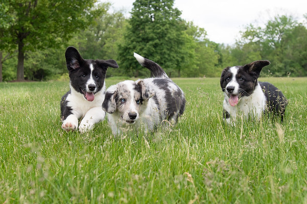 Proctor Corgi Puppies