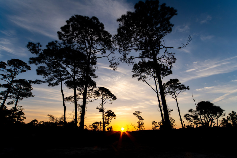Sunrise through Florida Pines