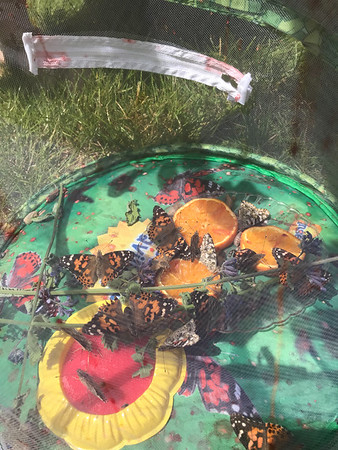 Release of the Painted Lady Butterflies