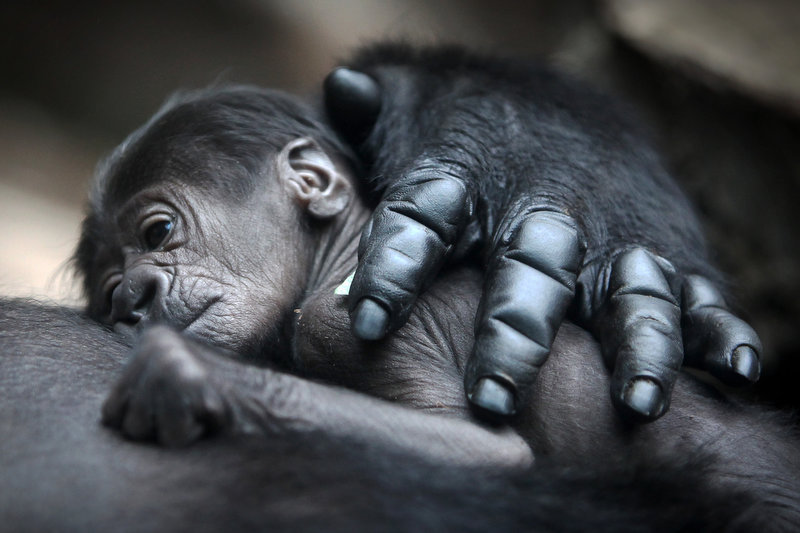 Description of . A baby gorilla lies on its mother Rebecca on July 12, 2012 at the zoo in Frankfurt/M., western Germany. The gender of the animal, born on July 10, 2012 and still nameless, is not yet known.    FREDRIK VON ERICHSEN/AFP/GettyImages