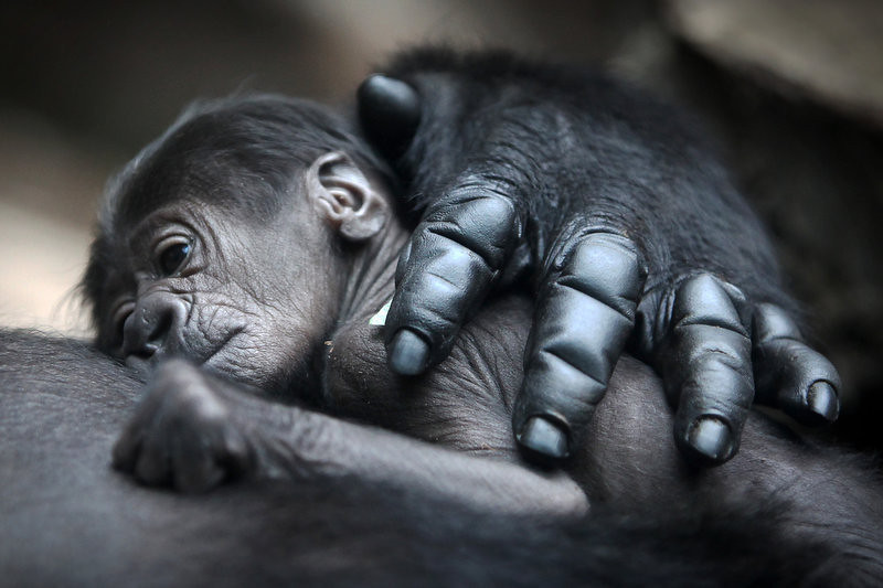 . A baby gorilla lies on its mother Rebecca on July 12, 2012 at the zoo in Frankfurt/M., western Germany. The gender of the animal, born on July 10, 2012 and still nameless, is not yet known.    FREDRIK VON ERICHSEN/AFP/GettyImages