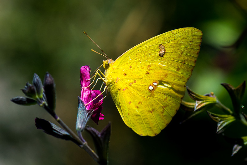 Yellow Cloudless Butterfly.jpg