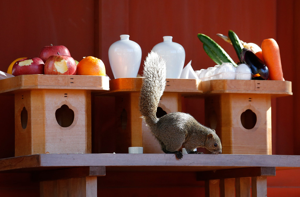 . A squirrel eats an offering on the altar on the New Year\'s Day at the Turugaoka Hachimangu Shrine in Kamakura, near Tokyo, Sunday, Jan. 1, 2017. (AP Photo/Shizuo Kambayashi)