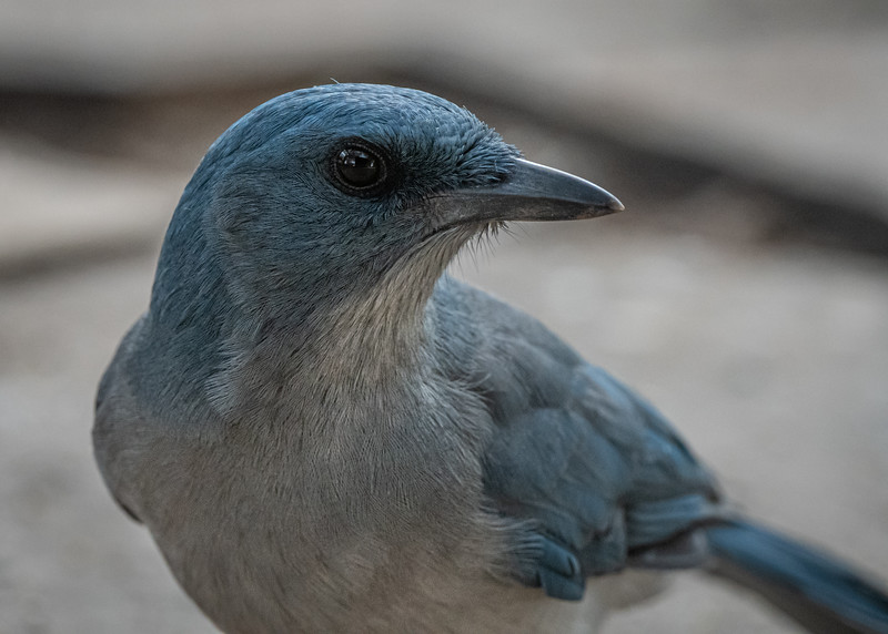 Mexican Jay close up (in AZ)