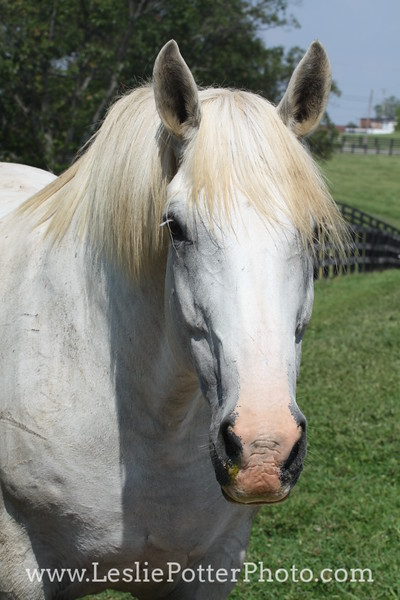 Gray Draft Horse in Pasture