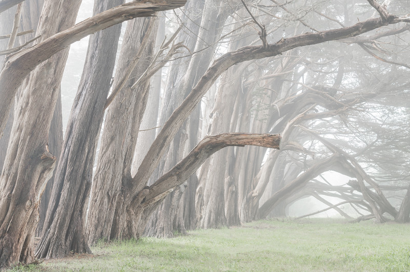 Hedgegate Hedgerow in Fog, Sea Ranch, CA